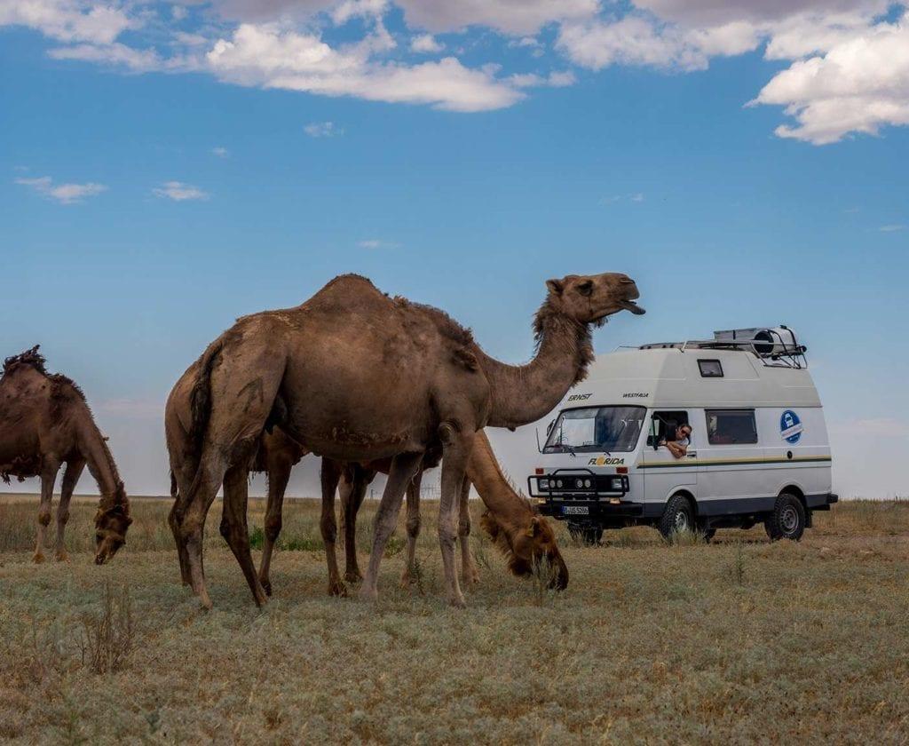 Kazachstan-Safari-Kamele-VW-LT-28-Westfalia-Florida-Weltreise-Asien-Camper-Ausbau